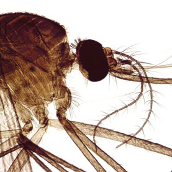 Outsmarting Dengue Fever by Vaccinating Mosquitoes