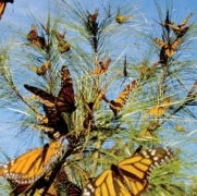 Monarch Butterflies at the Center of a Continent-Wide Conservation Effort