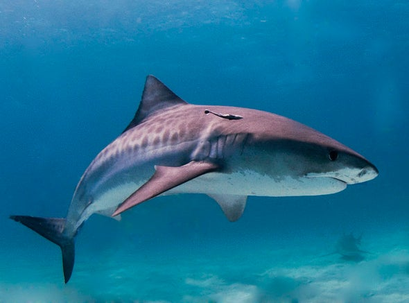 Tiger Shark Shot and Dumped at Sea as Cull Begins in Western Australia