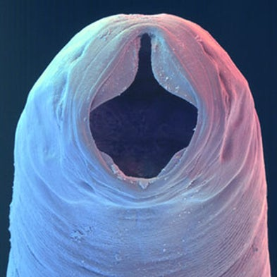 pinworm bulbus)