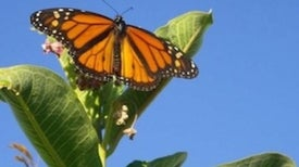 Monarch Butterflies' Birthplaces Pinpointed
