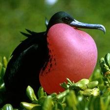 magnificent-frigatebird