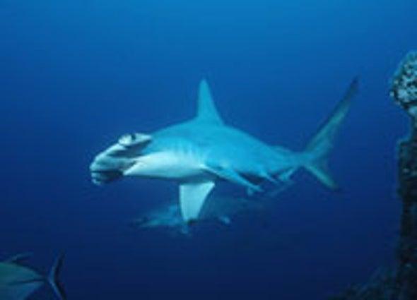 Atlantic Shark Populations Shrinking Fast