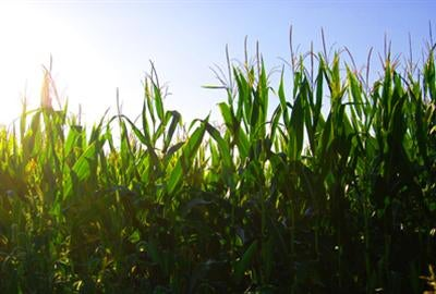 France Moves to Ban GM Maize Planting in Short, Long Term