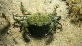 Crabs Do a Maze