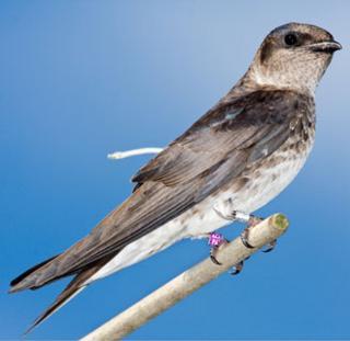 Masters of Flight: Songbirds' High-Speed Massive Migration