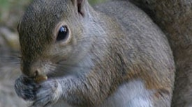 Cuddly Squirrel or Gray Menace?: When Invasive Species Pose an Environmental Threat