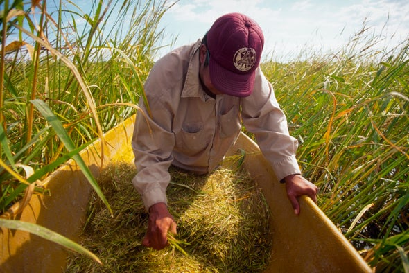 Climate Change Threatens the Ancient Wild Rice Traditions of the Ojibwe