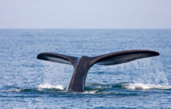 Right Whales Seem to Think before They Speak