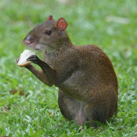 Cache Crop: Rodents May Have Replaced Extinct Megafauna as Seed Dispersers [Video]