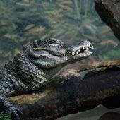 Chinese Alligator <i>Alligator sinensis</i>