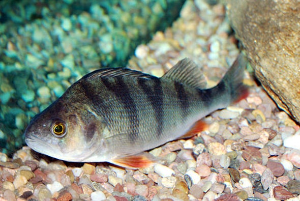 Fish Flourish on Common Antianxiety Drug
