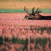 Moose: