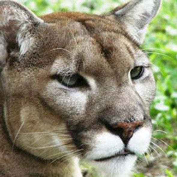 Tenuous Times for the Endangered Florida Panther