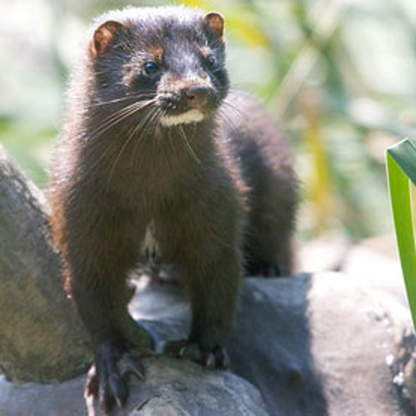 Mink Young Jeopardized by Industrial Chemicals