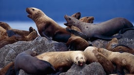 Pinnipeds Don't Appreciate Biped Disturbance