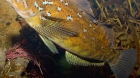 Radioactive Fish Near Fukushima Suggest Ongoing Contamination