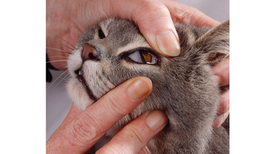 The Mystery of the Cat's Inner Eyelid