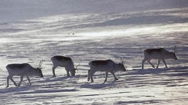 Real-Life Red-Nosed Reindeer Threatened by Warmer Arctic