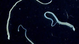 Tapeworm Spreads Deadly Cancer to Human