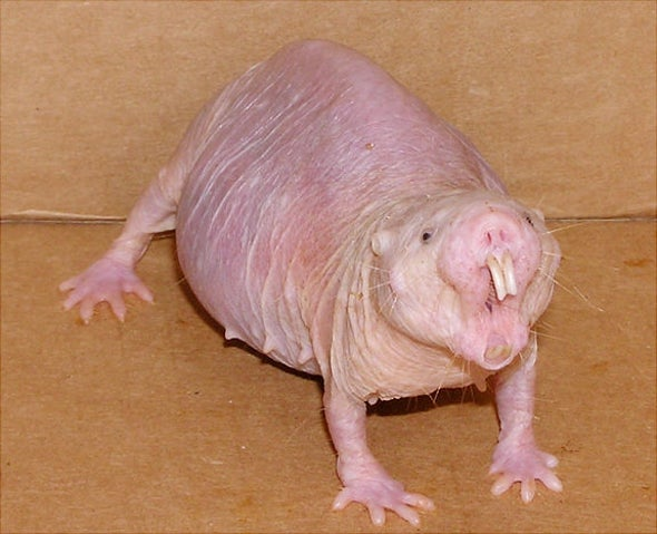 Mole Rat Pain Resistance Could Point the Way to New Analgesics
