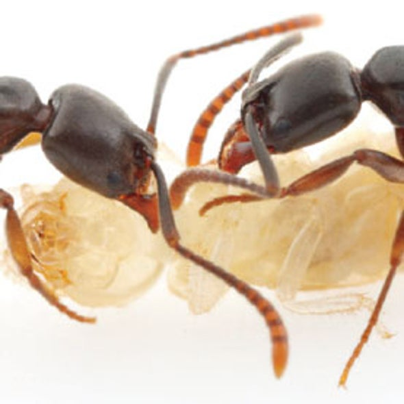 Ants Misbehaving: Argentine and Asian Ants Battle for U.S. Dominance
