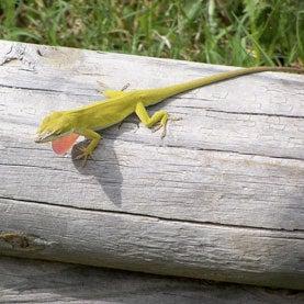 Lizard Genome Unveiled