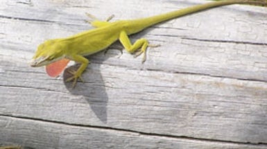 Lizard Genome Unveiled