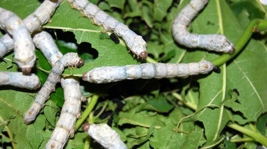 Silkworms Spin Super-Silk after Eating Carbon Nanotubes and Graphene