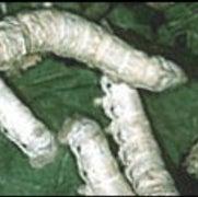Silkworm's Secret Unraveled