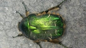 Iridescence Could Help Critters Hide in Plain Sight