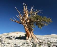 One for the Ages: Bristlecone Pines Break 4,650-Year Growth Record
