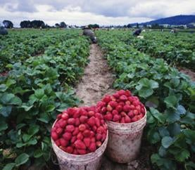 Buckets of freshly-picked strawberries in front of a strawberry field