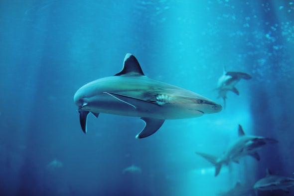 Sharks Make a Splash in Brooklyn