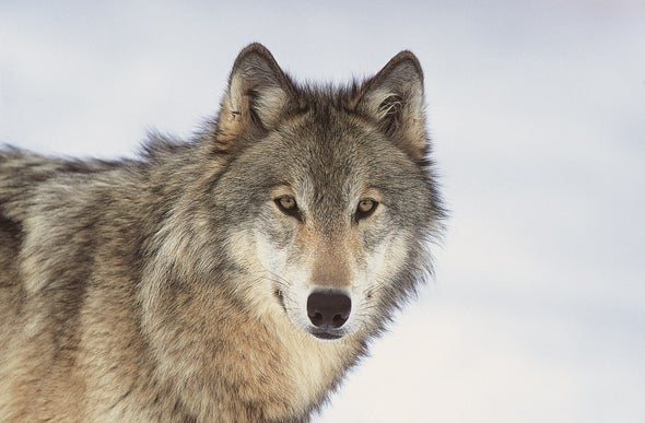 Wolves Need More Room to Roam