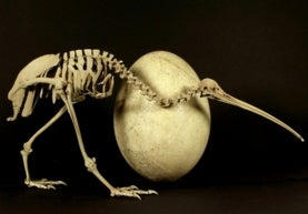 image of a skeleton of a bird next to an egg that is about the same size as the skeleton