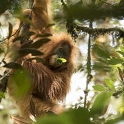 Newly Discovered Orangutan Species Is Also the Most Endangered