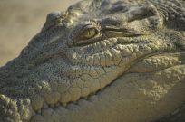 Sensory Stubble Helps Alligators Hunt