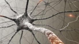 The Learning Brain Gets Bigger--Then Smaller