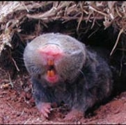 Internal Compass Helps Blind Mole Rat Find Its Way