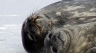 Weddell Seal Population Count