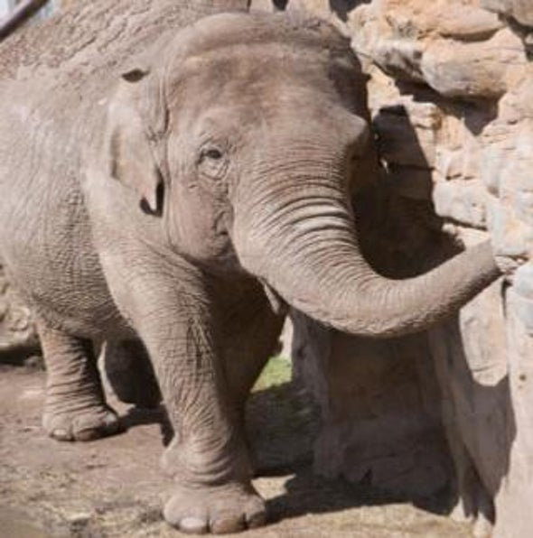 Babar on Ice: A New Way to Save Endangered Elephants?
