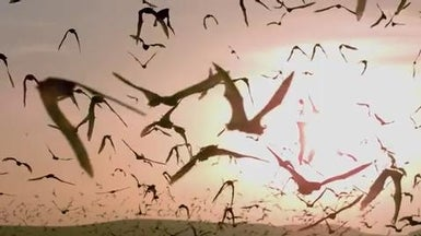Watch a Sunset Bat Ballet