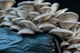 How a Carnivorous Mushroom Poisons Its Prey