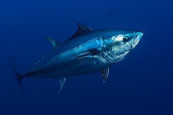 Tuna's Declining Mercury Contamination Linked to U.S. Shift Away from Coal