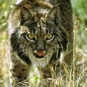 Iberian Lynx <i>Lynx pardinus</i>