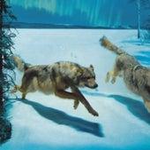 WOLF DIORAMA RESTORED