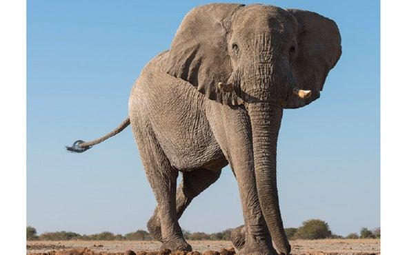 Footprints Reveal Ancient Origins Of Elephants