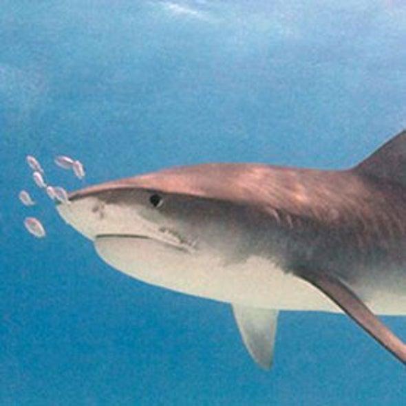 Threats to Sharks Destabilize Entire Ecosystems
