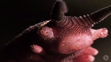 Watch Velvet Worms Fire Their Slime Cannons